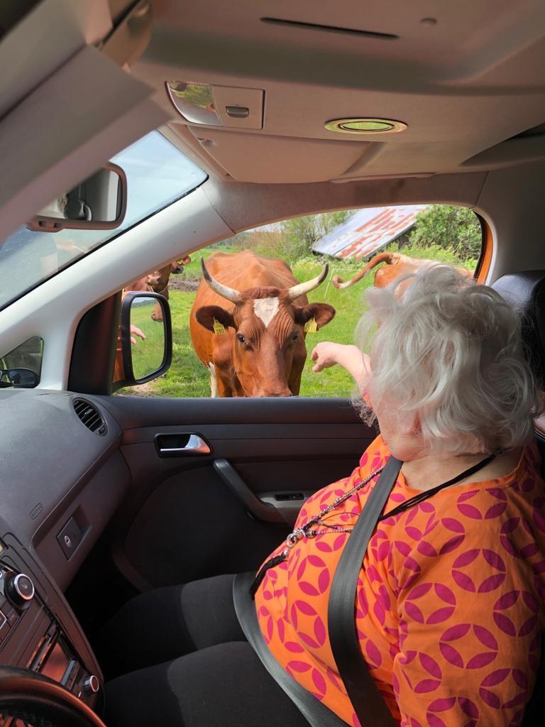 Asiakas tervehtii niityllä olevaa lehmää autosta.